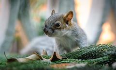 Bebê Esquilo (ruifo) Tags: nikon d700 sigma 105mm f28 dg hsm os macro 11 animal wild life curious baby squirrel by bebé ardilla curioso bebê esquilo mexico city cdmx méxico ciudad tree arbol árbol arvore árvore nature naturaleza natureza