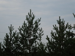 Trees (cloversun19) Tags: landskape branches leafs foliage sky russia russian spb tree walking country willage holiday holidays park garden dream dreams positive forest happy view grey legend fairytale fir firtree birch landscape village evening forestimages