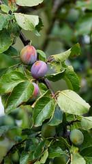 Plums ripening, Shottery (Dave_A_2007) Tags: fruit nature plant plum tree stratforduponavon warwickshire england