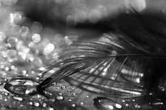 la plume et le prisonnier..LA RENCONTRE (FLOCVROFF) Tags: noir et blanc nb monochrome bokeh feather plume feder chivaroff 50mm proxi macro monochromebokehthursday hbmt hbw bokehnatureblackandwhiteonly