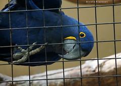 Who's watching who? (Ineke Klaassen) Tags: blue ara blauwe parrot papegaai animal animals bird upsidedown topsyturvy cage sony sonyimages sonya6000 sonyalpha sonyalpha6000 sonyilce6000 ilce burgerszoo burgers zoo dierentuin nederland mangrove 300views 20favs 20faves 20fav 1025fav