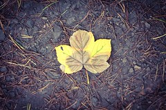 Autumn has arrived (lewi1553) Tags: change nature earth ground fall autumnal wither decay colour autumn leaf