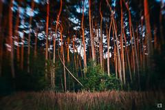 (lotl.axo) Tags: kottenforst wald deutschland bäume landschaft natur lensbaby germany villewälder forest landscape nature paysage trees woods sunset sonnenuntergang goldenestunde