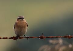 On the fence (themadbirdlady) Tags: passeriformes muscicapidae oenantheoenanthe northernwheatear sheriffmuirinnnn8202