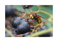 Microcosm 2018 (DC Michèle) Tags: microcosm macro insects wasp vespacrabro michèledc