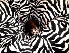[Explored] Vortex (WinRuWorld) Tags: pet cat domesticcat vortex beanbag catbehaviour kitty pattern catphotography stripes