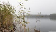 Sumuinen syysaamu, Misty autumnal morning (NI5A6117LR-3) (pohjoma) Tags: järviruoko kaislikko kasvi maisema syksy usva autumn fall phragmitescommunis commonreed lake canoneos5dmarkiv finland canonef24105mmf4lisusm landscape scenery