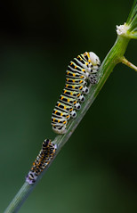 Papilio machaon (jorge.torres.paz) Tags: insect chenille canon caterpillar papilio machaon 100mm macro macrophotography france
