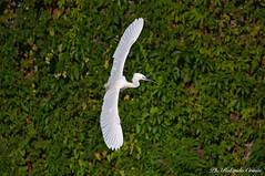 Garzetta _049 (Rolando CRINITI) Tags: garzetta uccelli uccello birds ornitologia polcevera genova natura