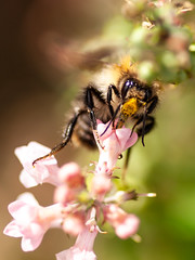 365.255 - Drinking deeply (AmyGStubbs) Tags: 12sep18 2018 365the2018edition 3652018 bee day255365 e30 garden olympus sigma105mmf28exdgmacrofourthirds flower