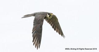Hobby-  Falco Subbuteo