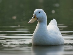 Duck (PhotoLoonie) Tags: duck waterbird wildlife nature