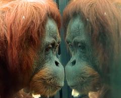 sumatran orangutan Berlin Zoo JN6A6196 (j.a.kok) Tags: aap ape animal azie asia orangutan orangoetan sumatraanseorangoetan sumatranorangutan mammal monkey mensaap zoogdier dier berlijn berlijnzoo