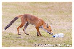 Thank God the Heat Wave is 0ver!!- Red Fox with water bottle (www.andystuthridgenatureimages.co.uk) Tags: fox red water bottle plastic summer heat hot heatwave warm mammal uk
