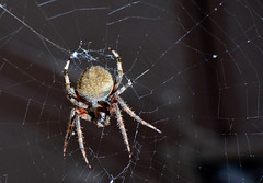 Yikes That's A Big Spider (thoeflich) Tags: orbweaver spider
