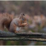Red Squirrel - Eekhoorn (Sciurus vulgaris) .... thumbnail