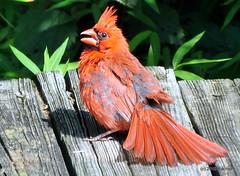 DSC_0631 (RachidH) Tags: birds oiseaux snow cardinal redbird northerncardinal cardinaliscardinalis cardinalrouge sparta nj rachidh nature