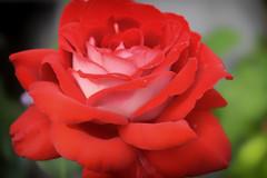 Rose aux pétales de velours (Croc'odile67) Tags: nikon d3300 sigma contemporary 18200dcoshsmc fleurs flowers rose rouge red