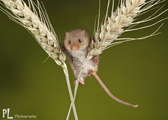 Harvest Mouse (Phil Lindley Photography) Tags: mouse harvestmouse harvest mice canon canon100mm canon5dmkii captivelight phillindleyphotography