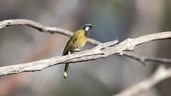 376A9453 (bon97900) Tags: 2018 birds gluepot2526thaug2018 gluepotreserve rivermurray riverland southaustralia waikerie whiteearedhoneyeater