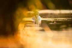 'I Spy' (Jonathan Casey) Tags: swan gold nikon d850 400mm f28 vr