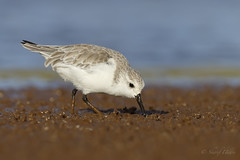 Sanderling (Calidris alba) (SharifUddin59) Tags: sanderling calidrisalba calidris alba shorebird wader mudflat water bird nature wildlife animal kahuku kahukuaquaponds jcnwr jamescampbellnwr oahu hawaii