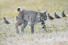 bobcat vs quail (matt knoth) Tags: lynxrufuscalifornicus bobcat californiaquail safetyinnumbers dandelion fieldofflowers wildlife hunting predator prey