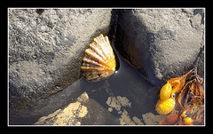 The limpet & Seaweed (Tiberius smith) Tags: rockpool limpet seaweed sea rock yellow