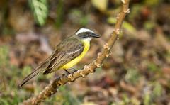 IMG_9263   Social Flycatcher (ashahmtl) Tags: socialflycatcher bird flycatcher songbird myiozetetessimilis elvalledeanton cocleprovince panama