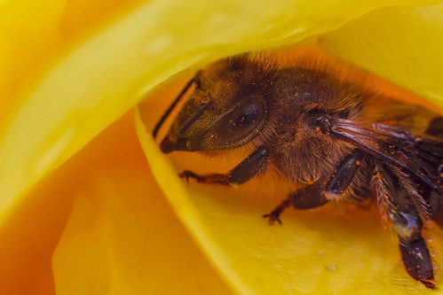 Bee Hiding From Rain