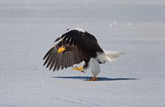Steller's sea eagle. (richard.mcmanus.) Tags: japan eagle hokkaido stellers sea stellersseaeagle winter raptor birdofprey snow ice mcmanus bird animal wildlife