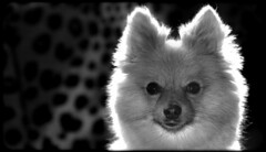 Boo the Pomeranian. . . (CWhatPhotos) Tags: cwhatphotos photographs photograph pics pictures pic picture image images foto fotos photography artistic that have which with contain epl8 panasonic lumix 14mm prime lens pen olympus esystem four thirds digital camera m43 animal pet cute portrait dog boo pom pomeranian zwergspitz dwarfspitz dwarf spitz pompom dogs littledoglaughedstories littledoglaughednoiret