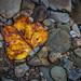 Lone Colorful Leaf Along the Bank of Linn Run