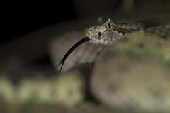 Colorado Desert Sidewinder (DevinBergquist) Tags: sidewinder sidewinderrattlesnake crotalus crotaluscerastes rattlesnake snake california ca herping wildlife nature cascabel viboradecascabel fieldherping