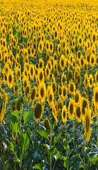 Endless sunflower field (inola1405) Tags: yellow nature sky summer sun agriculture flower beautiful field bright blossom green sunflower colorful farming natural sunny meadow landscape vibrant blue blooming flora petals crop season rural botanical floral growth leaf outdoor beauty backgrounds botany garden plants pollen pretty round sunflowers light plantation view farm infinite endless
