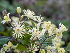 Old Man's Beard (niloc's pic's) Tags: oldmansbeard clematisvitalba wildflower white flower seedhead seeds belletout southdowns eastsussex panasonic lumix dmcgh4r