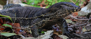 Asian water monitors are adaptable hunters