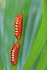 Atala (Eumaeus atala) on Coontie (Zamia ingregrifolia) (Mary Keim) Tags: taxonomy:binomial=eumaeusatala centralflorida marykeim cwh
