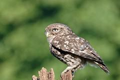 Little Owl... (Gary Neville) Tags: sony sonyrx10iv rx10iv rx10m4 m4 iv littleowl garyneville