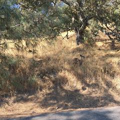 Diablo's deer (Olivier So) Tags: usa california bayarea animal deer mountdiablo