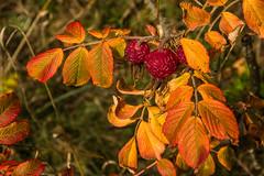 Wild roses (Deutscher Wetterdienst (DWD)) Tags: natur nature laubverfärbung autumncoloring herbst autumn blatt leaf farben colours wilderosen wildroses