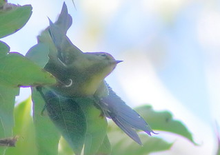 Blue-winged Warbler eBird 04-20190912