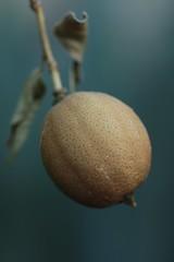 Dead Lemon Branch (j.towbin ©) Tags: allrightsreserved© garden nature plants macro lemon dried fruit dead bokeh texture img2089 ef100mmf28lisusmmacro
