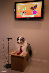 Humans can be MANIPULATED!  Be the ALPHA DOG (37/52) (Jasper's Human) Tags: lecture aussie australianshepherd 52weeksfordogs powerpoint