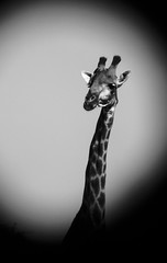 WHAT? (paologmb) Tags: africa freedom pattern safari bush skin explore bn together family nationalgeographic nature love zimbabwe tender couple animals giraffe amore future blancnoir wild ngc