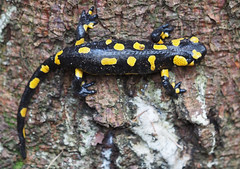 Feuersalamander Salamandra (arjuna_zbycho) Tags: salamander amphibie feuersalamander