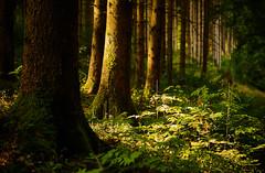 Au plus profond de la forêt (Meinrad Périsset) Tags: forêt nature biodiversité arbres switzerland suisse schweiz swizzera nikond850 d850 nikon afsnikkor50mmf14g captureone11pro