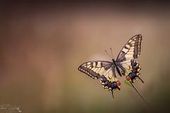 Grand ouvert (autainvillois) Tags: machaon papillon proxy
