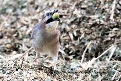 Jay (vampiremoi) Tags: sevenoaks reserve jay corvid acorn beak nikon d500 tamron 150600 nature food feeding moihicksphotography field g2 bird ground