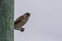 nankeen kestral a(peek a boo) (crispiks) Tags: nikon d500 200500 f56 birdlife